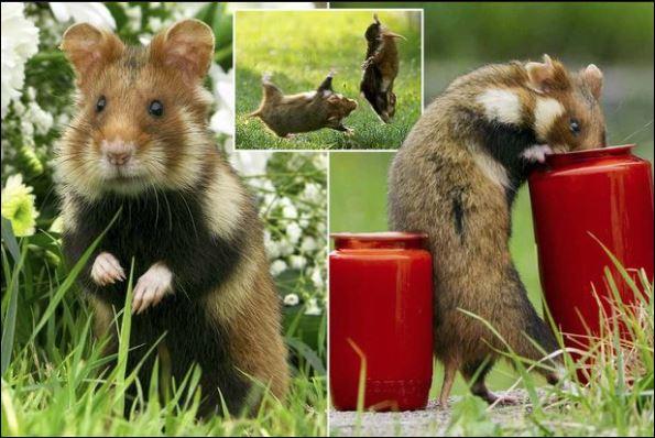 Grave-robbing hamsters